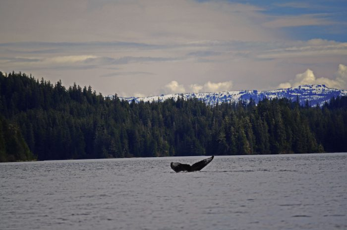 Humpback Whale fluke in Southeast Alaska right before it dives below the surface.