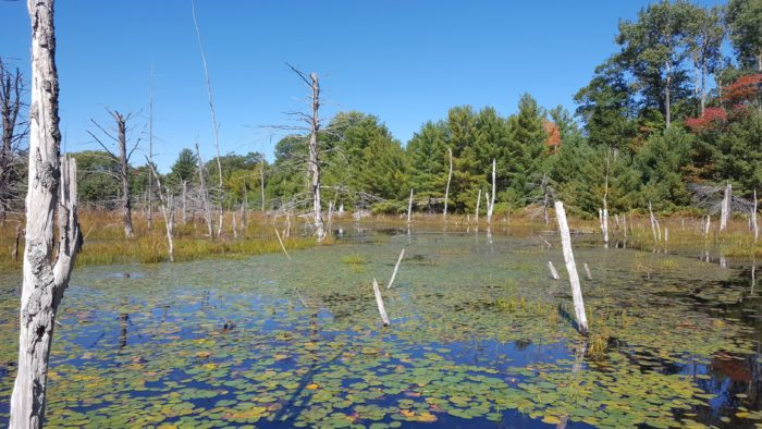 A wetland with floating plants and dead trees and a clear blue sky